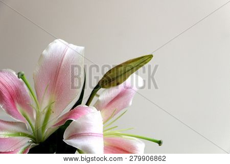 Delicate Lily Flowers In Pastel Colors, White Macro Flowers, Corner Composition