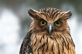 Malay or Buffy fish owl close-up portrait. Nocturnal bird of prey Ketupa ketupu with yellow eyes and raised ear tufts. poster