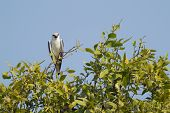 Black Shouldered Kite Bird in calling pose resting on a perch poster