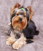Puppy of the Yorkshire Terrier isolated on the textile background poster
