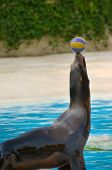 Seal playing with a ball near the water poster