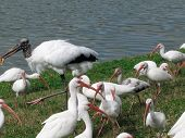 American Ibis wading around looking for food - Lake County, Florida poster