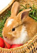 Cute brown bunny in Easter eggs basket poster