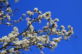 Blooming Branch Of Cherry Tree On The Background Of Sky