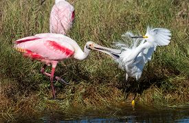 A Rosate Spoonbill And Asnowy Egret Fight At A Watering Hole In Canaveral National Seashore.