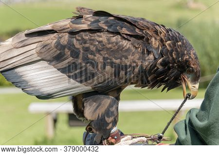 A Close Up View Of A Juvenile Bateleur Eagle Pertched On Her Handelers Glove
