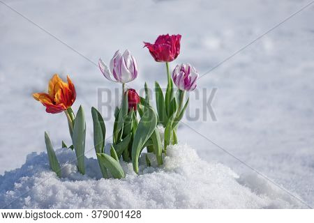 Flowering Tulips Under The Snow