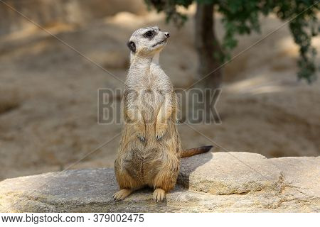 The Meerkat Stands On A Stone And Looks Around