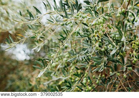 Many Large Fruits Of Olive Tree, On Branches Among The Foliage. Large Green Berries.