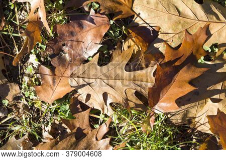 Scattered On The Ground Dry Yellowed Foliage Of Oak Trees In The Autumn Season, Real Wildlife During