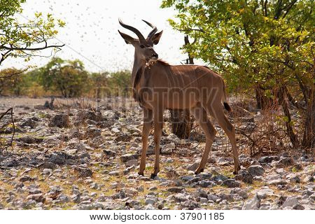 The greater kudu (Tragelaphusstrepsiceros)