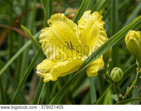 Closeup Of A Pale Yellow Hemerocallis Daylily Flower, Variety Missouri Beauty, In A Garden