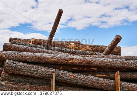 Pine Logs Are Stacked In A Woodyard Before Processing Or Transportation