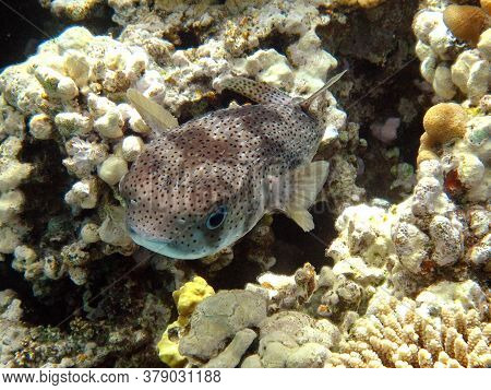 Fish-hedgehogs. Long-spiked Hedgehog Fish - Grows Up To 92 Cm, Feeds On Sea Urchins And Crabs, Hunts