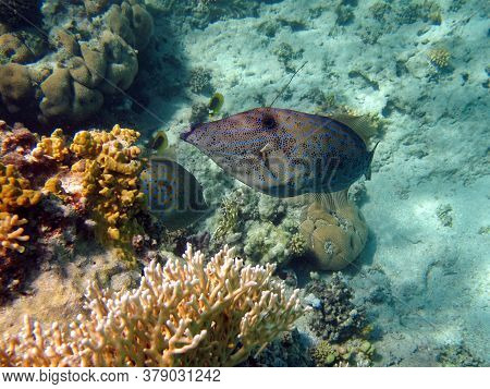 Fish Are A Type Of Bony Fish. Unicorn. Painted Aluter Elongated, Flattened Body Up To 110 Cm In Leng