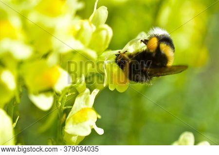 Yellow Beautiful Flowers Of Common Flax Snapdragon And Bumblebee On The Flower