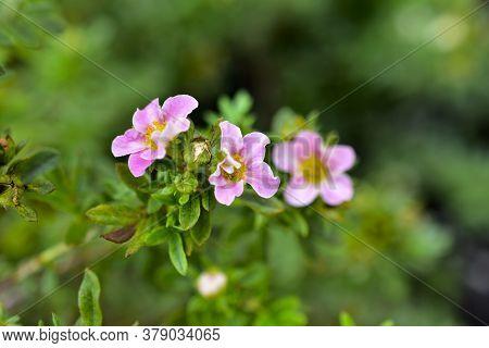 Very Beautiful Pink Flowers Of The Potentilla Shrub