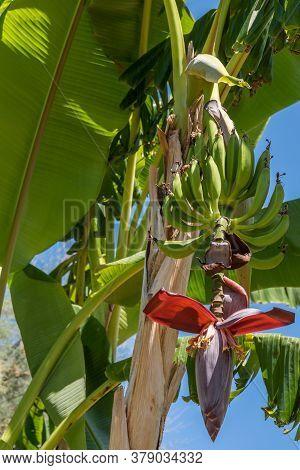 Bananas Ripen On A Banana Tree - Close-up Southern Italy