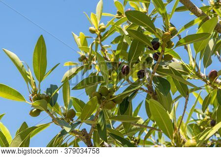 Green Olives Ripen On The Olive Tree - Close-up Of Olive Tree