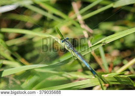 Blue Featherleg Dragonfly, Platycnemis Pennipes On A Green Blade Of Grass