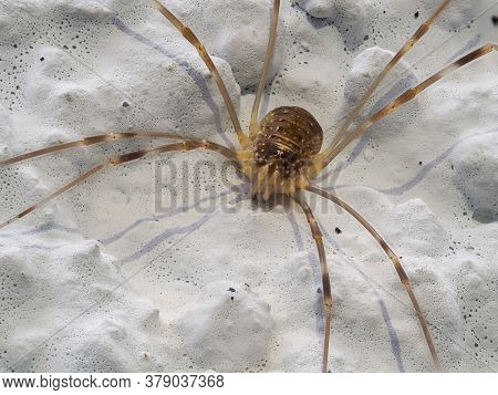 Extreme Close-up Of Wall Harvestman Spider, Opilio Parietinus