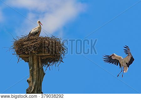 Image Of White Stork Flies To The Nest