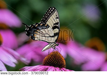 Eastern Tiger Swallowtail On Echinacea Flower. The Butterfly Is A Swallowtail Butterfly Native To Ea