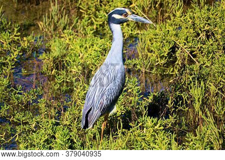 Heron Bird Also Known As An Egret Standing On A Coastal Estuary Taken At The Newport Back Bay In New