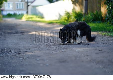 Big Stray Dog Without Front Paws Walking On Street. Homeless Unhappy Pooch Moves On Its Hind Paws On
