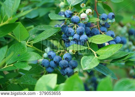 Close Up On Fresh Blueberry On The Tree
