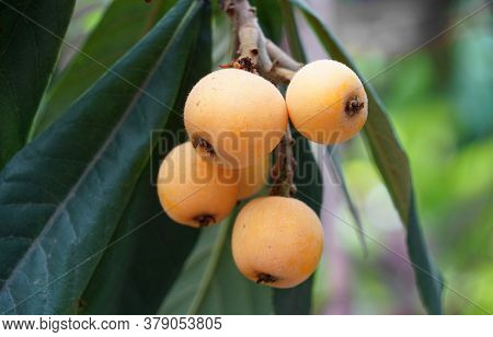 Fresh Ripe Loquat On The Tree Branch