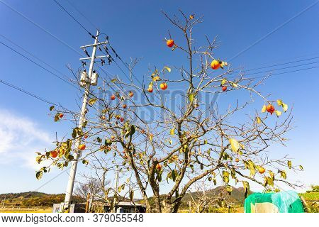 Persimmon Fruit Tree Grows On The Roadside In Suburb Of South Korea.