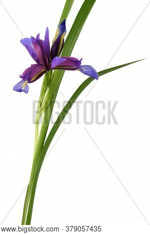 Purple Flower Of Iris Graminea Isolated On White Background. High Resolution Photo. Full Depth Of Fi