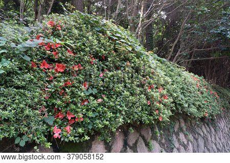 Red Royal Azalea Flower Or Cheoljjuk In Korea Language Bloom Around The Garden.