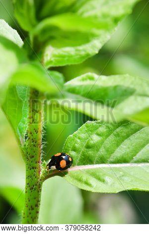 Macro Of An Asian Ladybug (harmonia Axyridis, Coccinellidae), Also Known As A