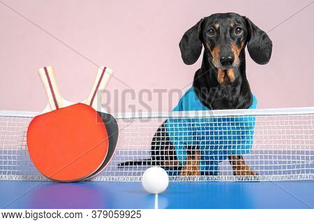 Cute Active Dachshund Dog On Ping-pong Table, Two Special Small Racket And Lightweight Ball Lie In F