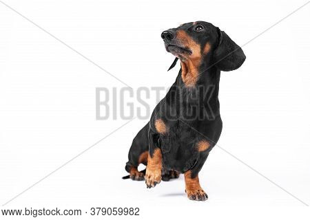Smart Dachshund Sits And Looks Up With Raised Paw, Performs Handler Command During Training And Wait