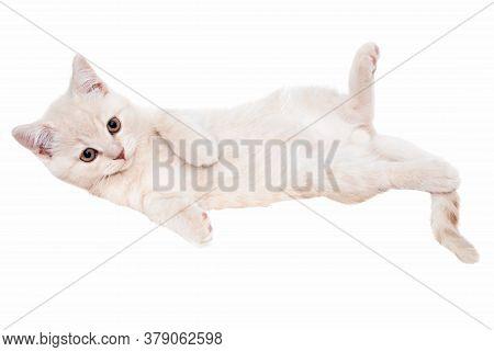 Pedigree British Shorthair Kitten Gently In A Light Cream Color