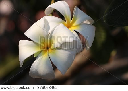 White And Yellow Color Of Frangipani Flowers And Green Background. Plumeria Grown As Cosmopolitan Or
