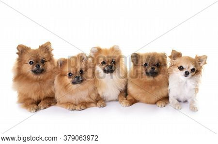 Young Pomeranians And Chihuahua  In Front Of White Background
