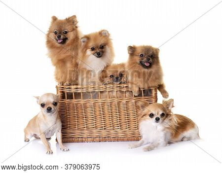 Young Pomeranians And Chihuahuas  In Front Of White Background