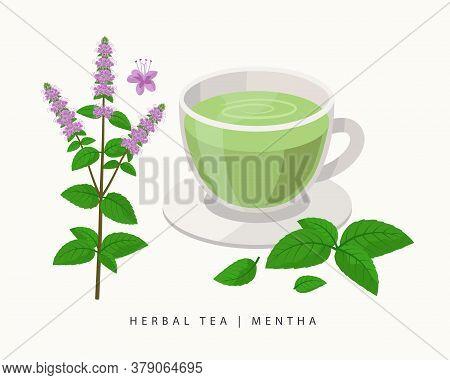 Mentha Herbal Tea Isolated On White Background. Mint Flowering Plant Vector Botanical Illustration.