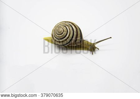 Striped Land Snail On The White Background. Grove Snail Moving Forward Against White Background