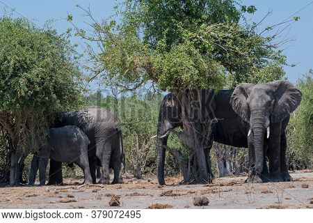 Group Of Elephants In The Shade Of Trees On The Chobe River In Botswana