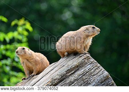 Prairie Dog (cynomys Ludovicianus) Beautiful Cute Animal.
