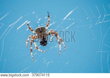 European Garden Spider, Diadem Spider, Orangie, Cross Spider Or Crowned Orb Weaver Eating Close Up