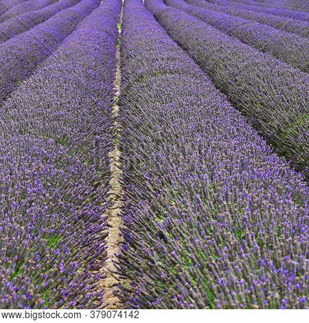 Lavender. Beautifully Blooming Violet Plant - Lavandula Angustifolia (lavandula Angustifolia)