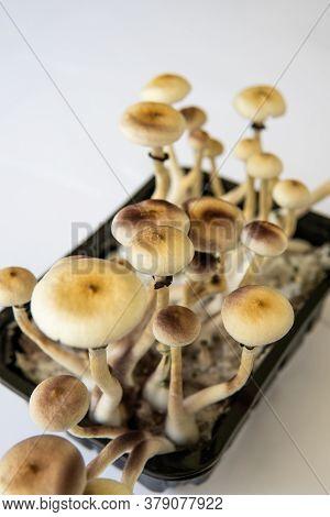 Fungi Hallucinogen. Growing Albino A Strain. Magic Shroom. Psilocybin Cubensis Mushroom. Fresh Psilo