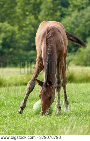 A Brown Foal In The Field, Playing With A Green Ball, Pasture, Horse