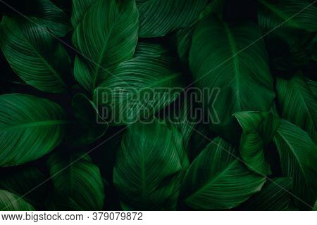 Spathiphyllum Cannifolium Leaf, Abstract Green Texture, Nature Background, Tropical Leaf